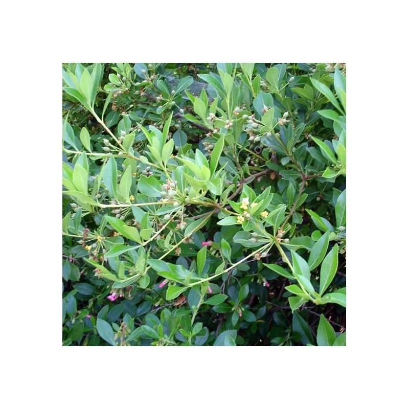 Pittosporum truncatum - Pittospore