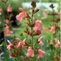 Salvia 'Coucher de soleil Californien' - Sauge arbustive orange