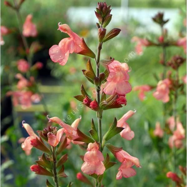 Salvia 'California Sunset' - Sauge arbustive orange