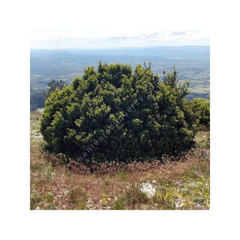 Buxus sempervirens - Buis commun