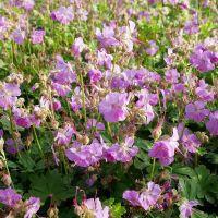 Geranium x cantabrigiense 'Cambridge' - Géranium vivace