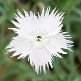 Dianthus anatolicus - Oeillet d'Anatolie