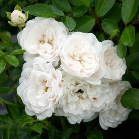 Rosa x polyantha 'The Fairy White' - Rosier paysage blanc double
