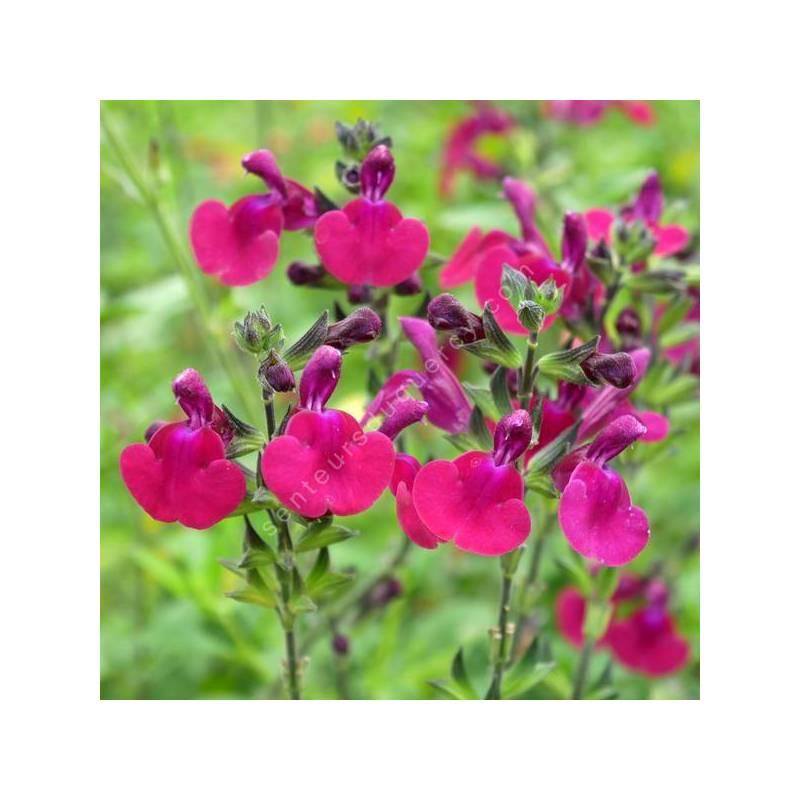 Salvia 'Porthos' - Sauge arbustive