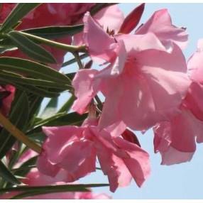 Laurier-rose 'Cavalaire' - Nerium