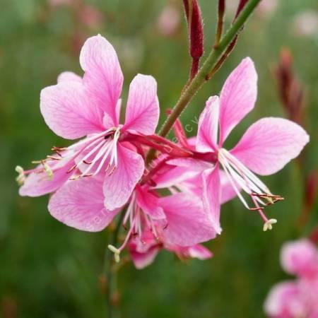 Gaura lindheimeri 'Siskiyou Pink' - Gaura rose