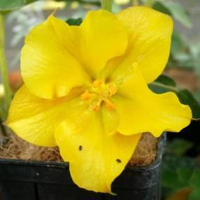 Fremontodendron 'California Glory'