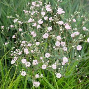 Gypsophila repens 'Rosenschleier' - Gypsophile rampante