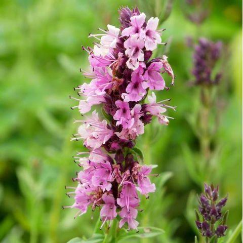 une fleur Martin 10 septembre trouvée par Martine Hyssopus-officinalis-roseus-hysope-afleur-rose