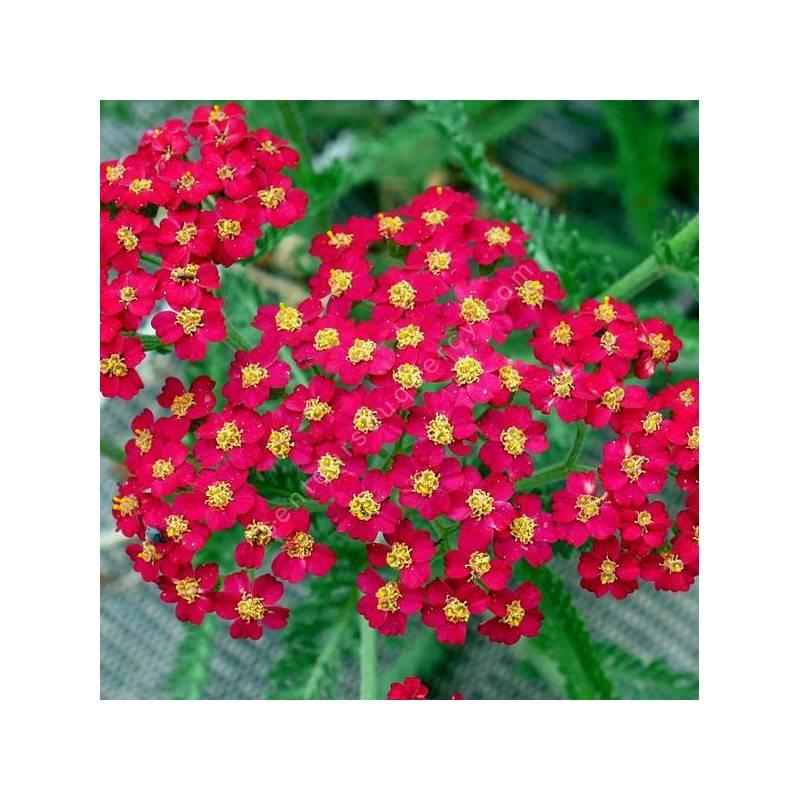 Achillea millefolium 'Paprika' - Achillée millefeuille rouge