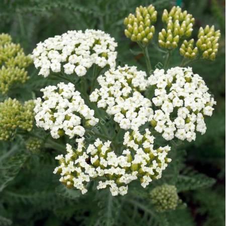 Achillea crithmifolia - Achillée