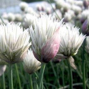 Allium schoenoprasum 'Elbe' - Ciboulette blanc ivoire