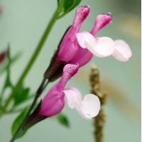 Salvia 'Dyson's Joy' - Sauge arbustive rose 2 tons compacte