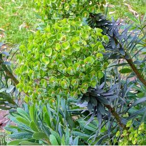 Euphorbia characias 'Humpty Dumpty' - Euphorbe
