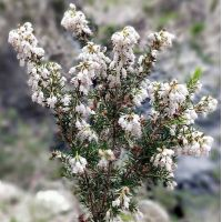 Erica arborea - Bruyère en arbre