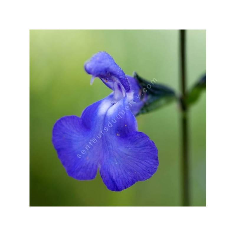 Salvia 'Bleu Victoria'- Sauge arbustive bleue