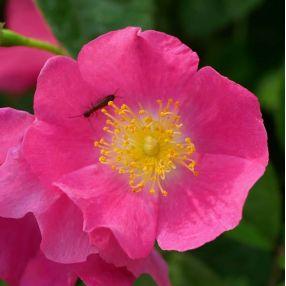 Rosa x multiflora 'Maria Lisa' - Rosier grimpant rose
