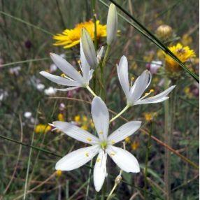 Anthericum ramosum - Phalangère ramifiée