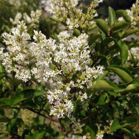 Ligustrum vulgare - Troène commun