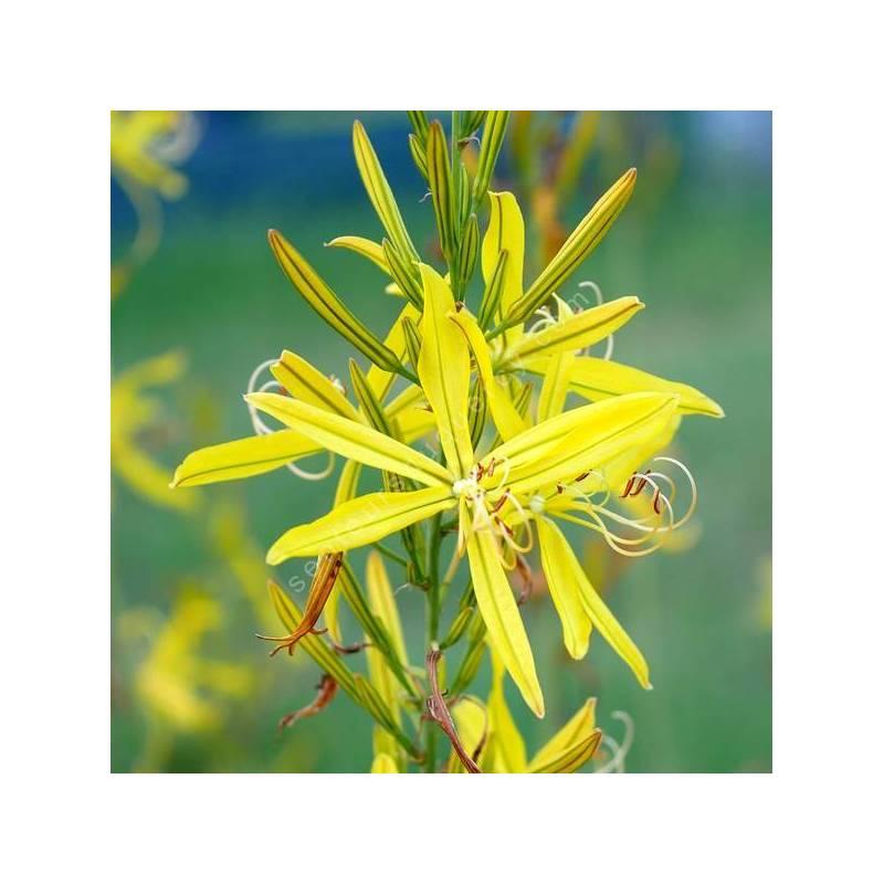 Asphodeline liburnica - Asphodèle