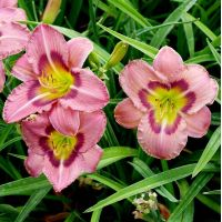 Hemerocallis 'Always Afternoon' - Hémérocalle rose