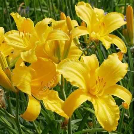 Hemerocallis 'Mary Todd' - Hémérocalle jaune
