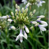 Agapanthus 'Twister' - Agapanthe naine bicolore