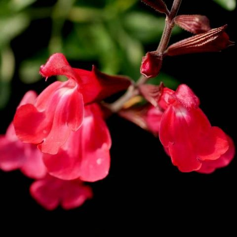 Salvia greggii 'Rouge à Lèvres' - Sauge de Gregg rouge