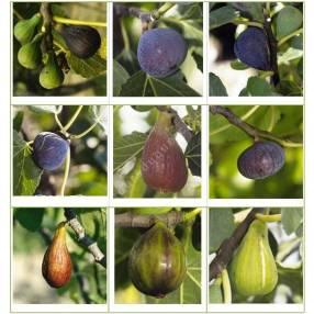 Collection de Figuiers - Ficus carica