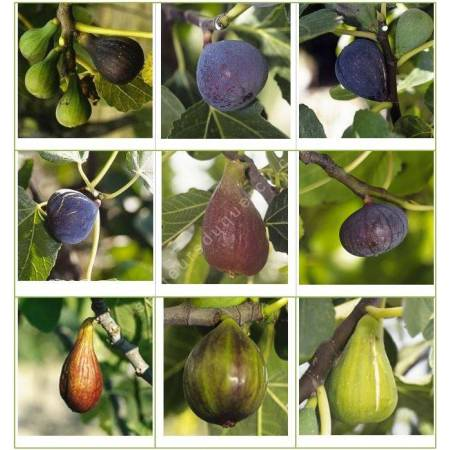Collection de Figuiers - Ficus carica