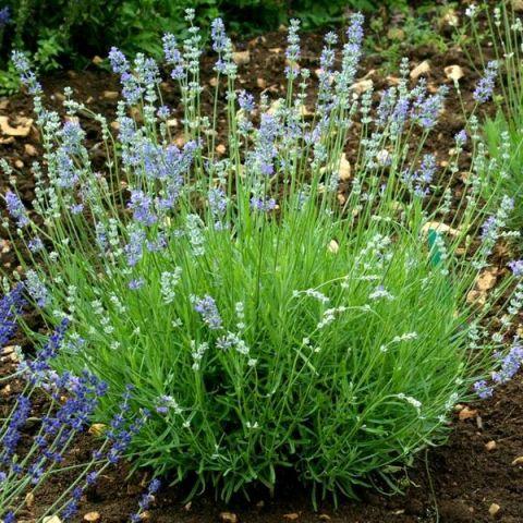 Lavandula angustifolia 'Cèdre Bleu' - Vraie Lavande