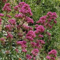Centranthus ruber 'Mauve' - Valériane des murs - Lilas d'Espagne