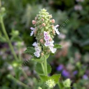 Nepeta cataria 'Citriodora' - Cataire citronnée