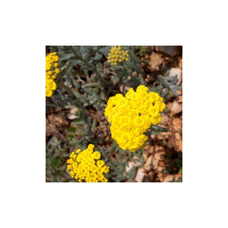 Achillea tomentosa - Achillée tomenteuse