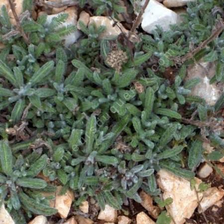 Achillea tomentosa - Achillée tomenteuse - feuillage