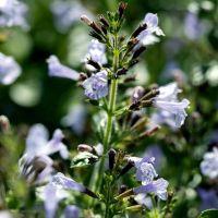 Calamintha nepeta 'Nuage Bleu' - Calament à fleurs bleues