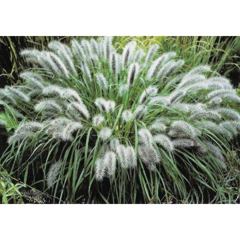 Pennisetum alopecuroides 'Moudry' - Herbe aux écouvillons