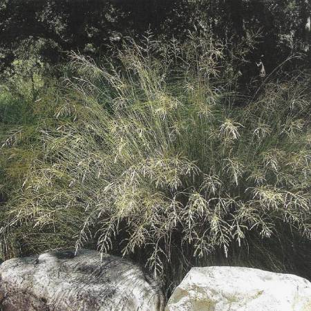 Eragrostis curvula 'Totnes Burgundy' - Herbe d'amour courbe
