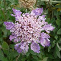 Lomelosia cretica - Scabieuse arbustive