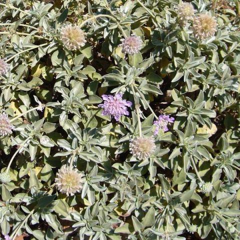 Lomelosia minoana - Scabieuse de Crète