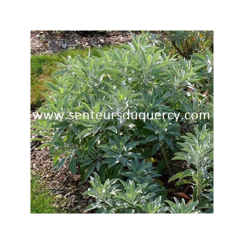 Salvia apiana - Sauge blanche