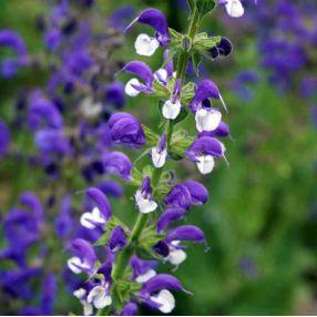 Salvia pratensis 'Madeline' - Sauge des prés bicolore