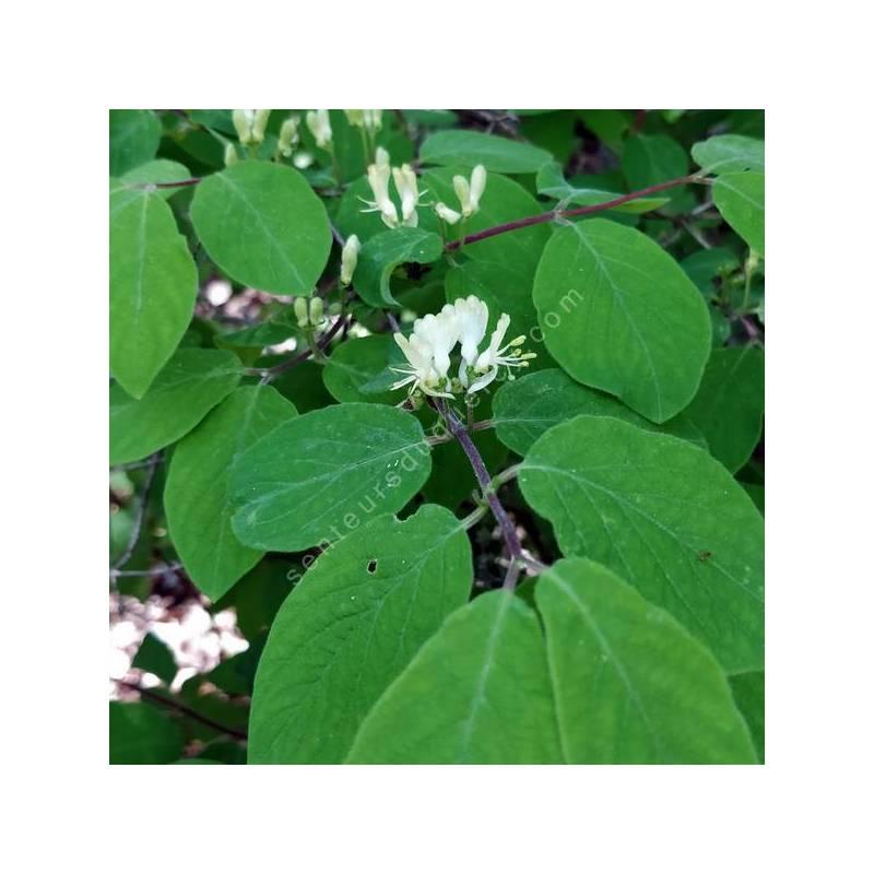 Lonicera xylosteum - Camérisier