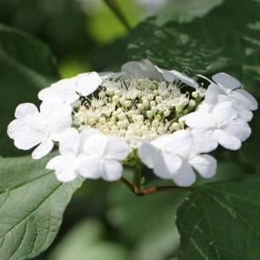 Viburnum opulus - Viorne obier