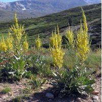 Verbascum olympicum - Molène de l'Olympe