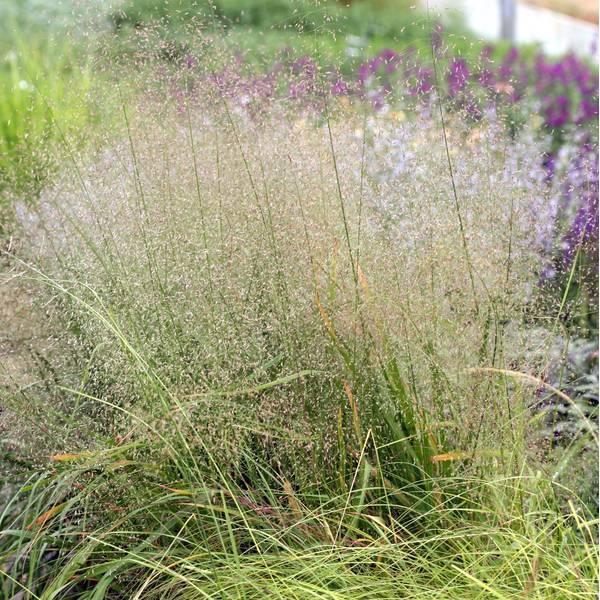 Eragrostis trichodes - Herbe d'amour des sables