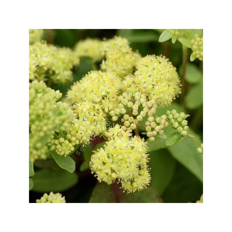 Sedum telephium subsp. ruprechtii 'Hab Gray'