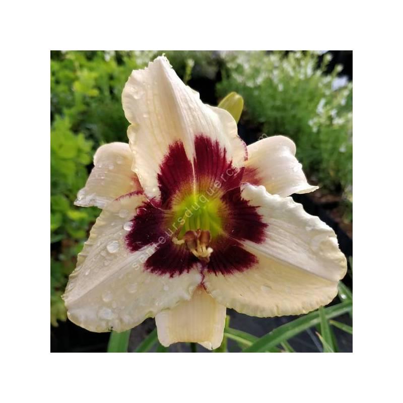 Hemerocallis 'Moonlit Masquerade' - Hémérocalle blanc crème et pourpre