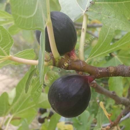 Figuier 'Ronde de Bordeaux' - Ficus carica