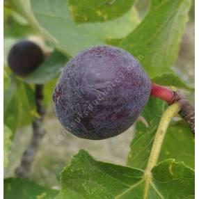 Figuier 'Sultane' - Ficus carica